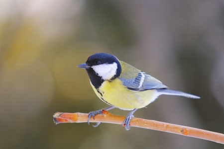 great tit: Great Tit, Parus major