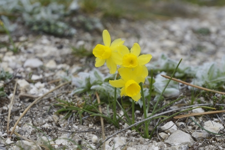 jonquil: Narcissus assoanus - narcisse dAsso - rush-leaf jonquil, to wild flowers of the Pyrenees Stock Photo