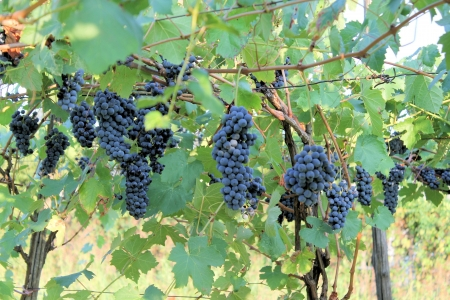 succulent red grapes in the vineyard photo