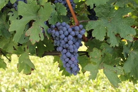 bunch of red grapes isolated in a vineyard photo