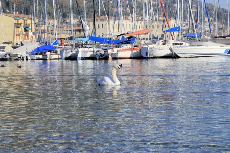 swan in a harbor on Lake Garda photo