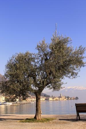 garda: Olive tree Stock Photo