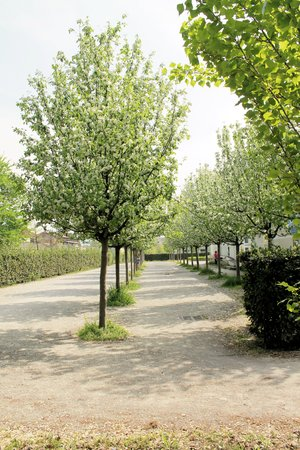 flowering trees in a park in spring  photo