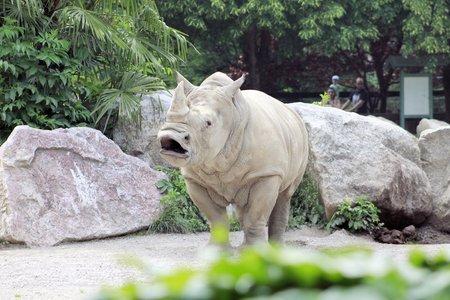 African white rhino photo