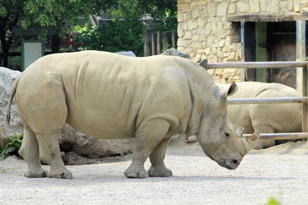 African white rhino photo