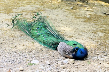 crown tail: Indian peacock Stock Photo