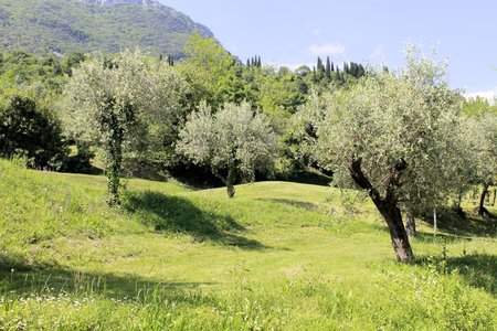 olive grove on Garda lake in northern Italy  photo