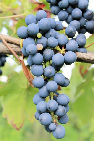 bluer: black grapes in the vineyard