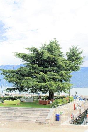secular: secular oak tree on  Garda lake in Italy Stock Photo