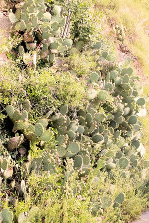 Prickly pear cactus plant photo