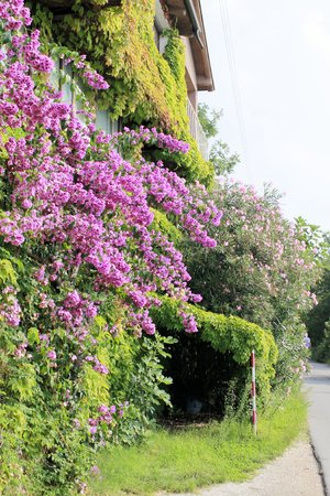 bougainvillea flowers: Bougainvillea flowers around the house