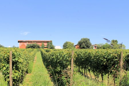 vineyard in northern Italy photo