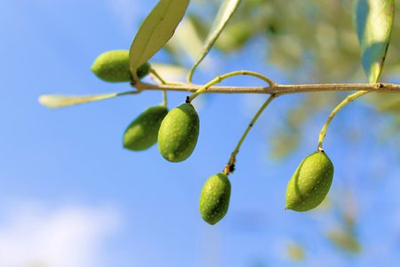 green olives on the tree photo