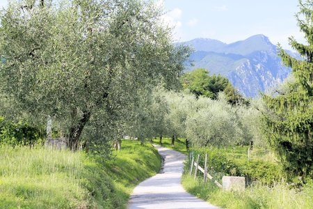 olive grove on Garda lake in northern Italy Stok Fotoğraf