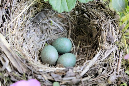 blackbird nest with three eggs photo