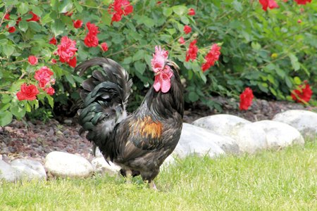 fertility emblem: black cock with red flowers background