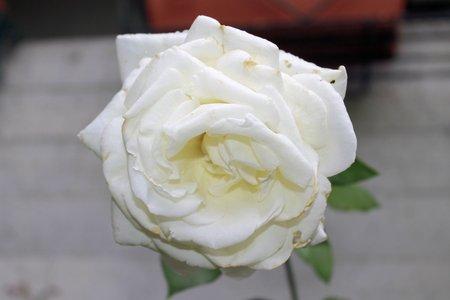 folwer: Beautiful white rose Stock Photo