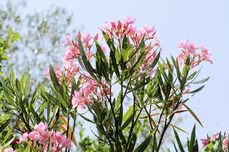 apocynaceae: oleander plant with pink flowers Stock Photo