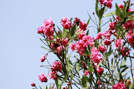 oleander: oleander plant with pink flowers Stock Photo