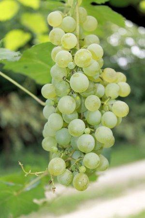 wei�e trauben: bunch of white grapes in the vineyard