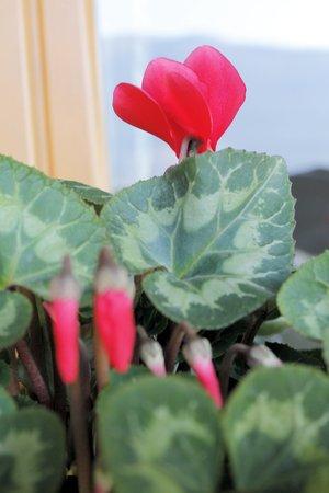 sowbread: red cyclamen flowers