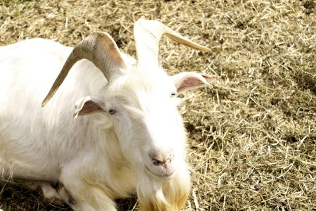 billygoat: Goat in the farm house