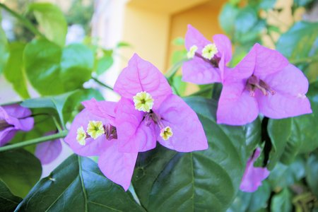 Purple bougainvillea flowers and leaves Stock Photo