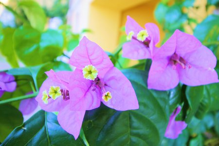 floreal: Purple bougainvillea flowers and leaves Stock Photo