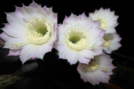 mirabilis: White flowers of Mirabilis jalapa of the night Stock Photo