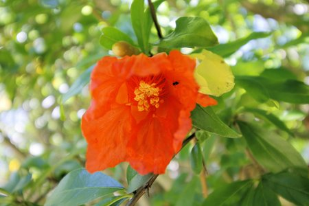 pomegranate flowers on the plant