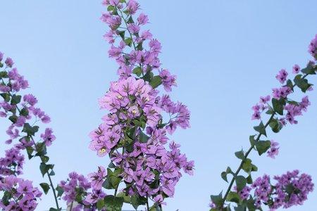 Purple bougainvillea flowers