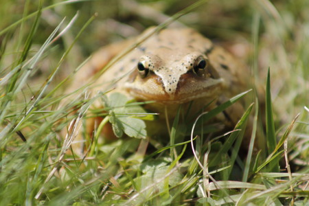 common brown toad in the grass