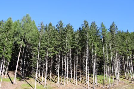 Forest in summer with pines, beeches and fir in Bolzen, Trentino Alto Adige, Italy