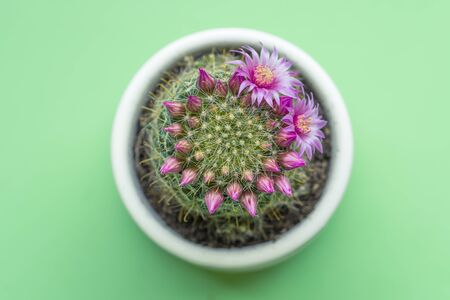 A close up of a pink flower on mall cactus 版權商用圖片
