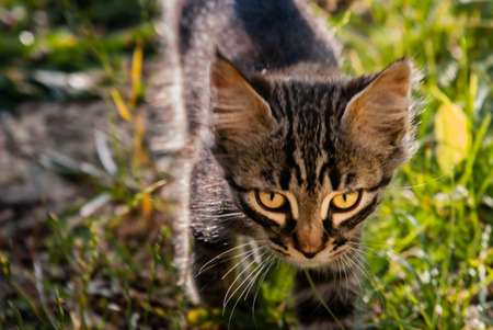 Cat in the process of hunting, in the field grass