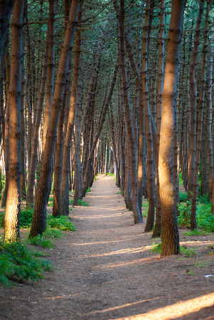 The path in the pine forest, which divides it from side to side