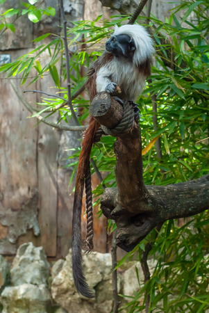 Shot of a young monkey of the Tamarin breed, with its thick white hair, shot on a tree Stok Fotoğraf