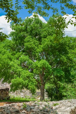 Typical tree common in the Yucatan peninsula, called Tree of Life