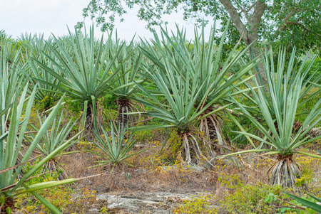 Agave plants, taken in the Tecoh plantations, in the Yucatan peninsula