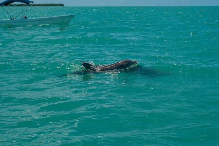 Dolphin swimming in the biosphere of Sian Ka'an nature reserve Reklamní fotografie