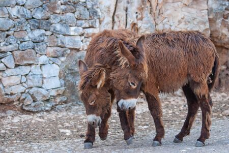 Portrait of two brown donkeys during courtship