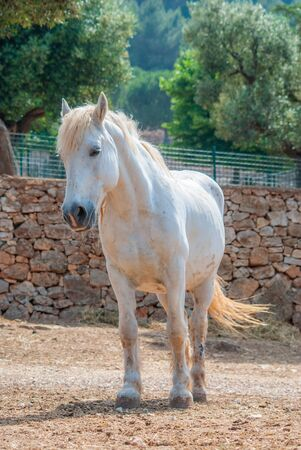 Young white haired stallion with his blondetail and mane