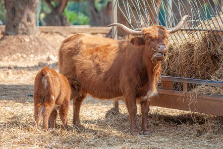 Highlander cow feeding her puppy while eating hay, taken on a farm 版權商用圖片