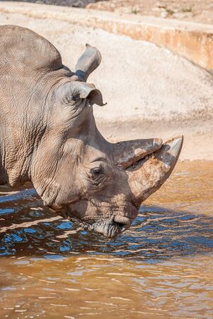 African rhinoceros with dark skin, with its large woody horn, to drink in a lake 版權商用圖片