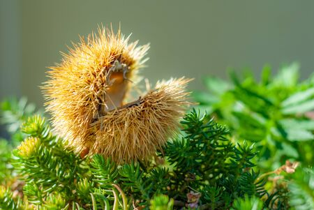 Chestnut hedgehog, fallen from the tree in autumn, on the undergrowth