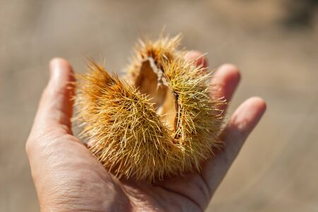 Details of prickly needles, of a chestnut hedgehog, held in the hands, in autumn Stockfoto
