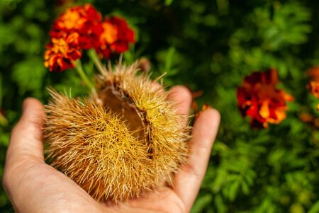 Prickly needles of a autumnal chestnut hedgehog, held in the hands, with flowers in the background
