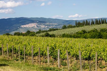 Vineyard in front of Cortona in Tuscany photo