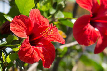 Hibiscus red flowers photo