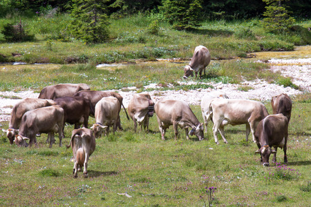 ruminate: bovines grazing in a meadow in the mountains